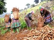 Plus de 80% du volume de manioc du Vietnam exporté en Chine
