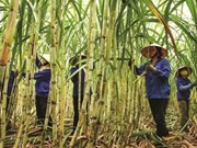 Le sucre du Vietnam exporté vers 28 pays