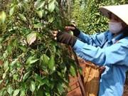 Le poivre de Quang Tri est le meilleur du monde