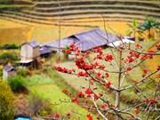 Le kapokier, la beauté culturelle de la campagne du Nord Vietnam