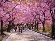 Rendez-vous en mars à Hanoï pour la Fête des cerisiers en fleurs du Japon