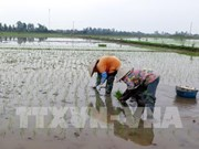 Les variétés de riz vietnamiennes représentent 59% de la superficie rizicole du pays