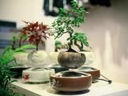 La culture du bonsaï attire de nombreux Hanoïens