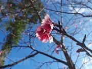 Plantation de 200 cerisiers japonais dans un parc de Bac Ninh