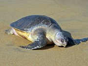 Une tortue olivâtre est relâchée à la mer
