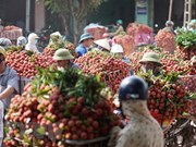 Hai Duong a exporté environ 9.500 tonnes de litchis