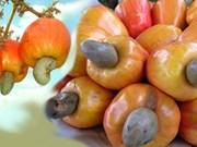 Bientôt la 10e conférence internationale sur la noix de cajou dans la ville de Ha Long