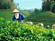 Le Vietnam, 5e exportateur de thé du monde