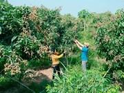 Hai Duong: une bonne saison pour les longanes