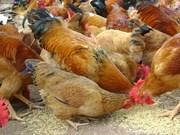 L'Arabie saoudite suspend l'importation de volailles du Vietnam