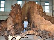 Une souche de badamier tentaculaire à Soc Trang