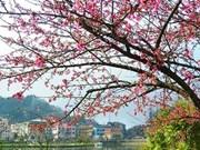 Sa Pa plantera 3.000 nouveaux cerisiers pour promouvoir le tourisme