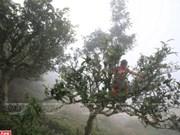 Le thé Shan tuyêt Tà Xùa, plus de 200 ans et toutes ses feuilles
