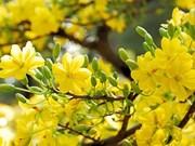 La fleur d'abricotier comme un rappel éternel au printemps dans le Sud