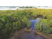 Reboisement des mangroves pour lutter contre l'avancée de la mer
