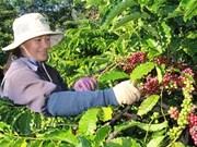 Les exportations vietnamiennes de café en Indonésie en forte hausse