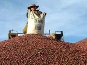 Le Vietnam exporte 1,26 md d'USD de café en 4 mois