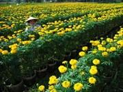 Les cultivateurs des fleurs attendent impatiemment le Têt
