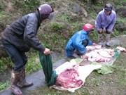 Près de 10.000 bovins morts de froid dans le Nord
