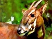 Biodiversité: Le Sao La mieux protégé à Quang Nam