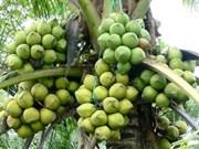 Ben Tre : exportation de 10.000 noix de coco vers Singapour