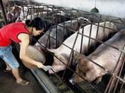 Le Danemark sonde l'élevage porcin au Vietnam