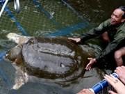 La tortue de Ho Guom aux petits soins