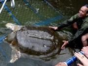 Guérison de la tortue du Ho Guom