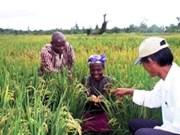 Riziculture : des agronomes vietnamiens au Mozambique