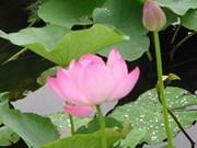 Vote : Le Lotus rose, fleur emblème du Vietnam ?