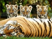 Communication pour sauvegarder les tigres