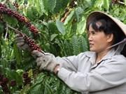 Vietnam : 2e producteur mondial de café