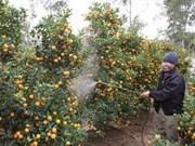 Hoi An: les arboriculteurs de kumquat préparent le Tet