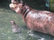 Naissance d'un bébé hippopotame à Binh Duong