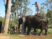 Dak Lak : renforcement de la protection des éléphants