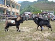 La fête des combats de boucs à Hoàng Su Phi