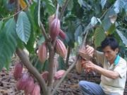 Culture du cacaoyer : effort et essor