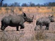 La protection des rhinocéros s'affiche