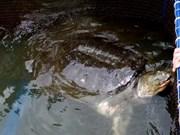 La CITES élève la protection de la tortue du lac Hoàn Kiêm
