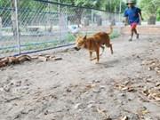De l'agility avec des chiens de Phu Quôc