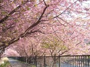 Une fête des fleurs de cerisiers à Ha Long