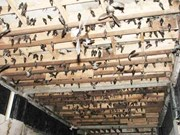 Renforcement de la lutte contre la grippe aviaire chez les salanganes