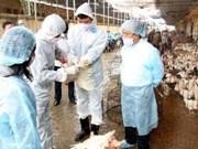 Can Tho maîtrise un foyer de grippe A/H5N1