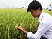L'IRRI et le Vietnam coopèrent dans la riziculture