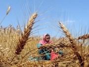 La FAO prévoit une forte production céréalière en 2013