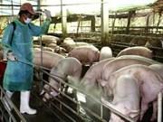 L'épidémie d'oreille bleue à Dak Nong totalement sous contrôle