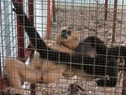 Binh Duong : six gibbons rares relâchés dans la nature