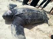 Sauvetage d'une tortue luth à Khanh Hoa