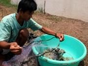 Prédominance des crevettes à pattes blanches