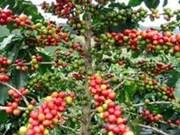 La production de café diminuerait cette année